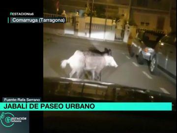 Un jabalí sorprende a los vecinos de Comarruga, Tarragona, paseando por sus calles