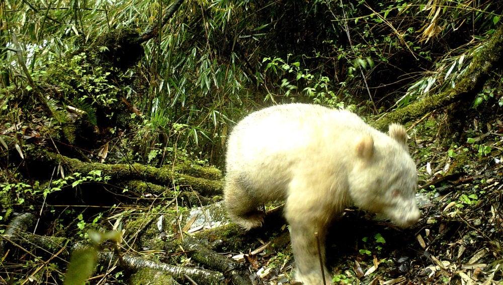 El primer oso panda albino del mundo
