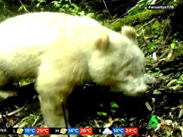 Captan por primera vez la imagen de un oso panda albino