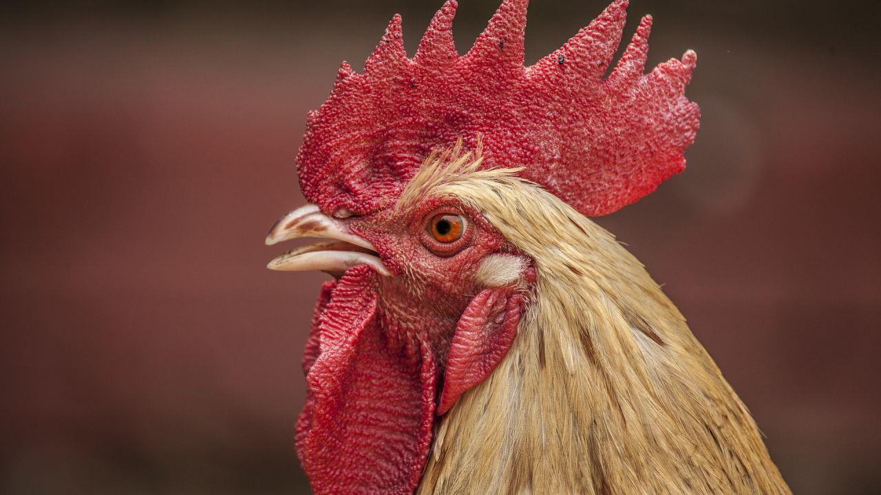 Un gallo (Archivo)