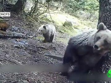 Osos en los Pirineos