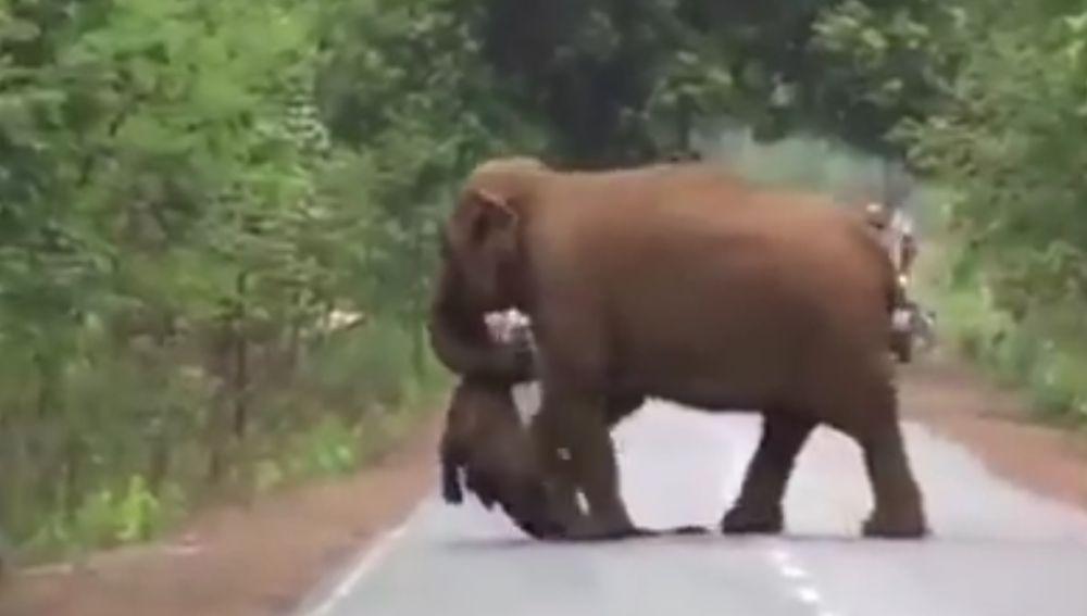 #Video Elefante carga cadáver de su hijo en procesión hacia funeral