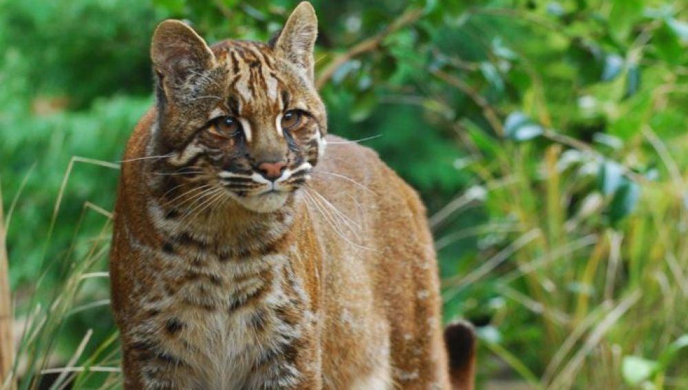 El gato dorado asiatico exhibe seis looks diferentes al noreste de la India