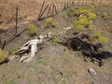 Dos de los caballos muertos en avanzado estado de descomposición