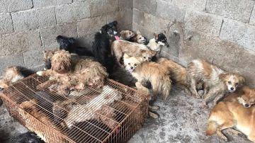 Rescatan a 62 perros antes de ser sacrificados para cocinarlos en el Festival de Yulin, China