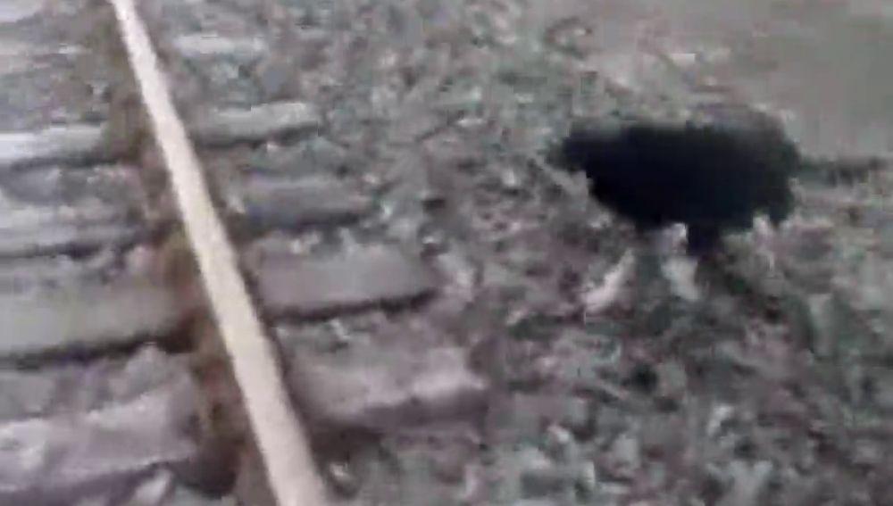 [Video] Maquinista salvó a perro que había sido amarrado en Llay Llay