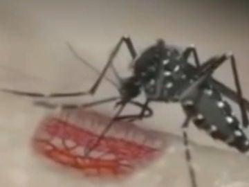 El mosquito tigre puede transmitir el virus chikungunya, dengue y zika.