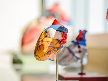 Algunos órganos presentan células muy antiguas