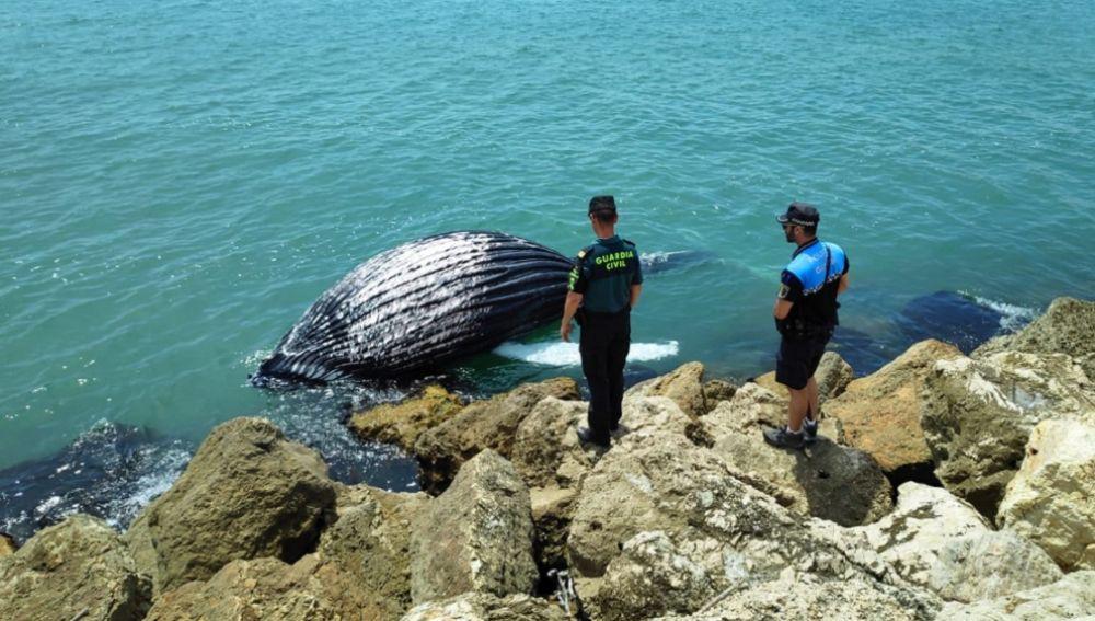 Cría de ballena varada en la escollera del puerto de Gandía