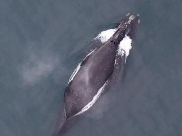 Imagen de una ballena Eubalaena japonica
