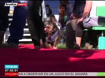 'Scamp, el Vagabundo': así es el perro más feo del mundo