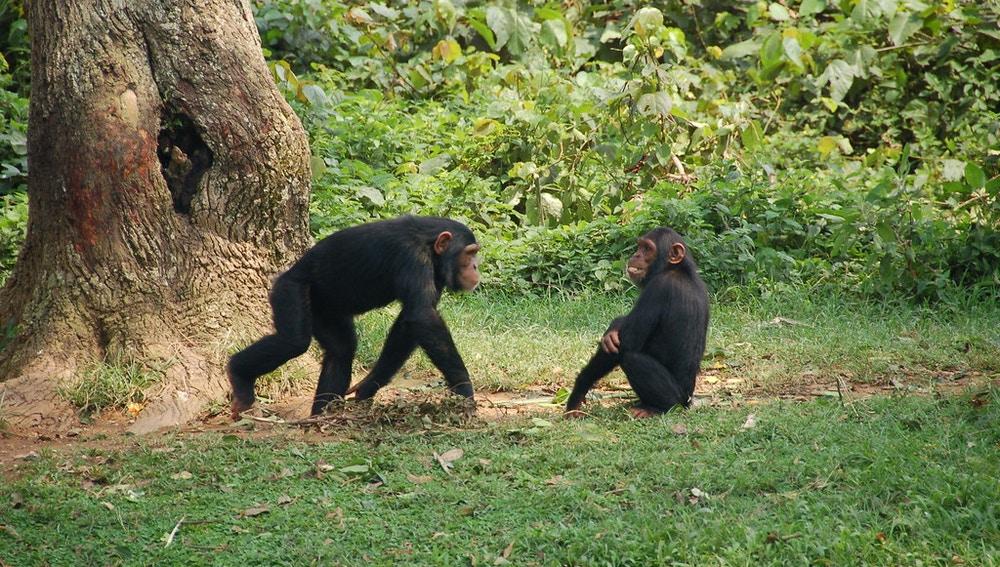 Los chimpancés tienen un menor porcentaje de grasa corporal.