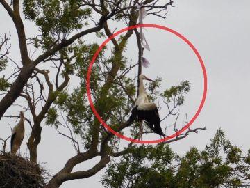 Muere una cigüeña ahogada por una bolsa de plástico en un parque natural del Empordà.