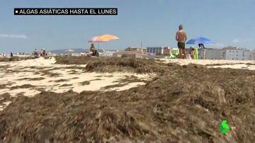 El alga asiática seguirá en las playas de Cádiz al menos hasta el lunes