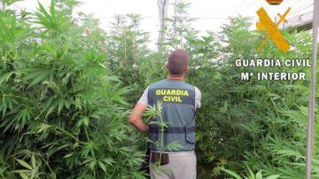 Agente de la Guardia Civil en un cultivo de marihuana