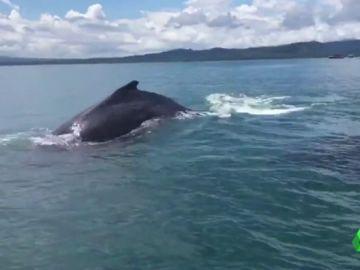 Rescate de una ballena y su cría en Costa Rica