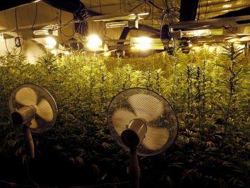 Plantas de marihuana en el interior del invernadero intervenido por la Guardia Civil en Galicia