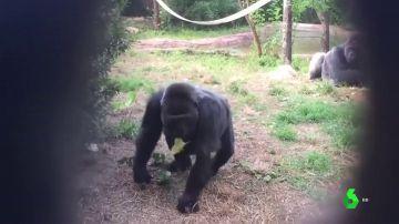 Imagen de la gorila fallecida en Estados Unidos