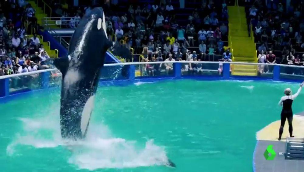 La orca Lolita durante un espectáculo