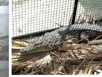 Imagen de un cocodrilo en un criadero ilegal en Alicante