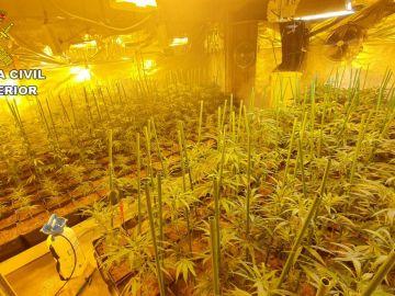 Una parte de la plantación de marihuana interceptada por la Guardia Civil en Teruel.