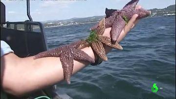 Recogida masiva de estrellas de mar en Pontevedra al ser una amenaza para el marisco de la ría