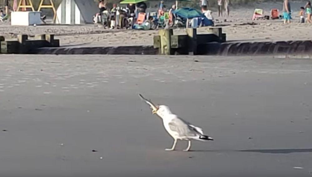 Una gaviota se come a una cría de tiburón