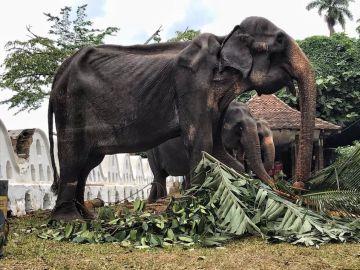 La elefanta Tikiri, obligada a desfilar en un festival de Sri Lanka