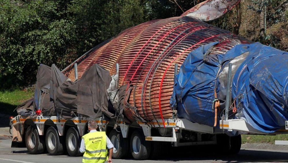 El ejemplar de Rorcual Común se encuentra ya en las instalaciones del Consorcio para la Gestión de Residuos Sólidos (Cogersa) en Gijón
