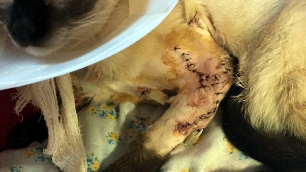 Imagen de un gato que ha tenido que ser operado de urgencia por cortes profundos en las dos patas