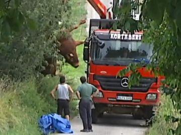 Imagen del toro abatido tras embestir a un hombre en Guipuzkoa