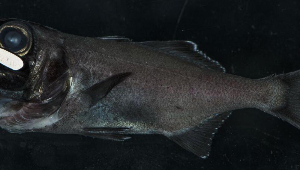 El pez ojo de linterna usa la bioluminiscencia para quedar de noche