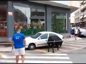 Un toro embiste contra un coche en el Bou Capllaçat de Amposta