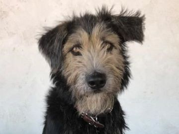 Monte, el perro que dará vida al nuevo Golfo en 'La dama y el vagabundo'