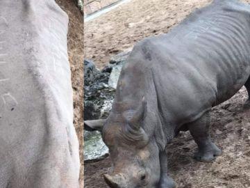 Rinoceronte agredido en el zoológico de La Palmyre, Francia