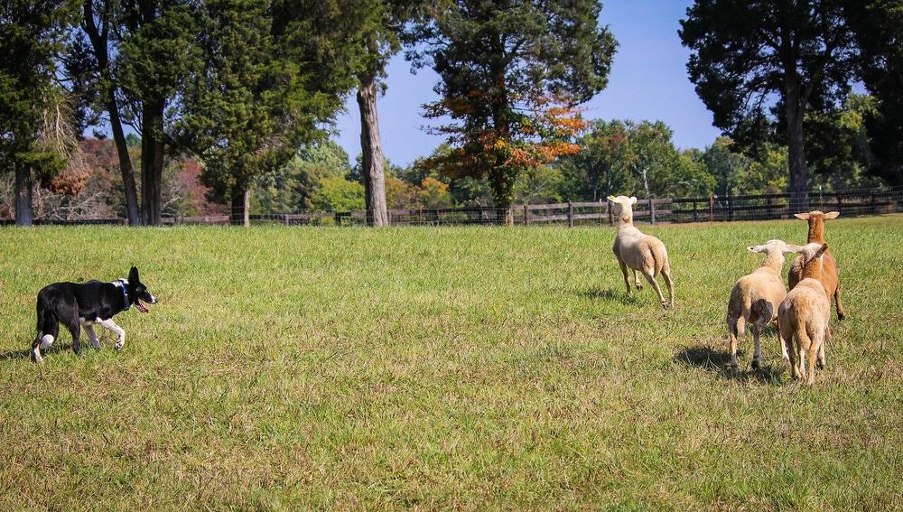Los border collie suelen emplearse en el pastoreo de ganado