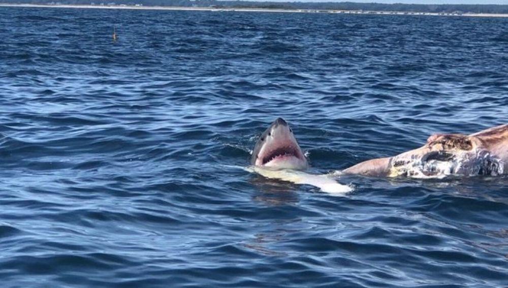 Un tiburón, junto al cadáver de una ballena