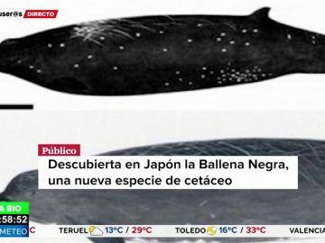 Descubren la ballena negra, un nuevo cetáceo