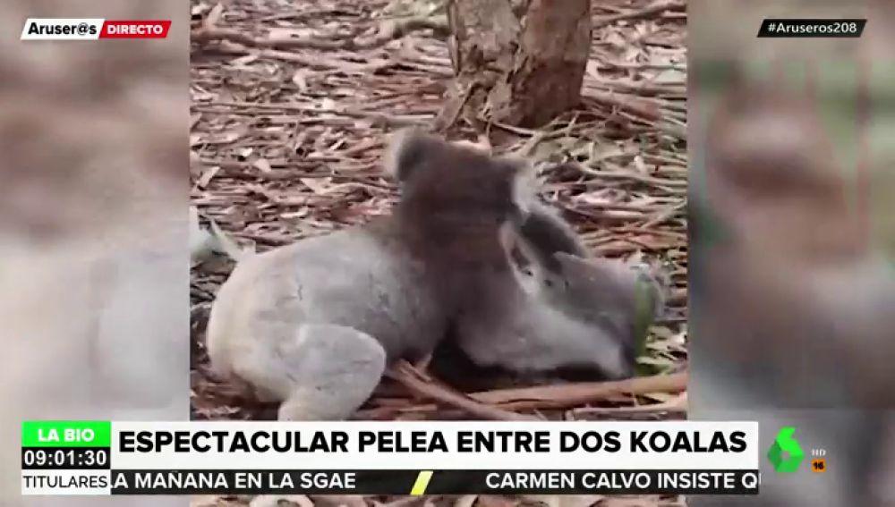 Pelea entre dos koalas