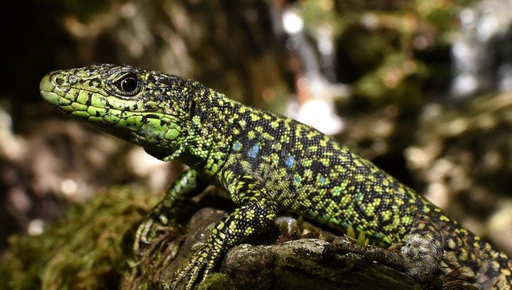 A los lagartos de climas frios no les favorece el calentamiento global