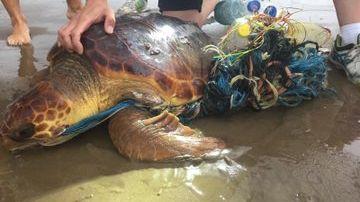 Una tortuga rescatada en la Malvarrosa