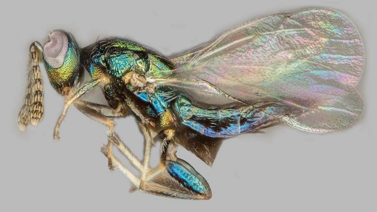 El caso de la avispa 'manipuladora' capaz de controlar la mente de otras especies