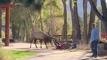 Un alce ataca a una mujer en un parque natural de Colorado