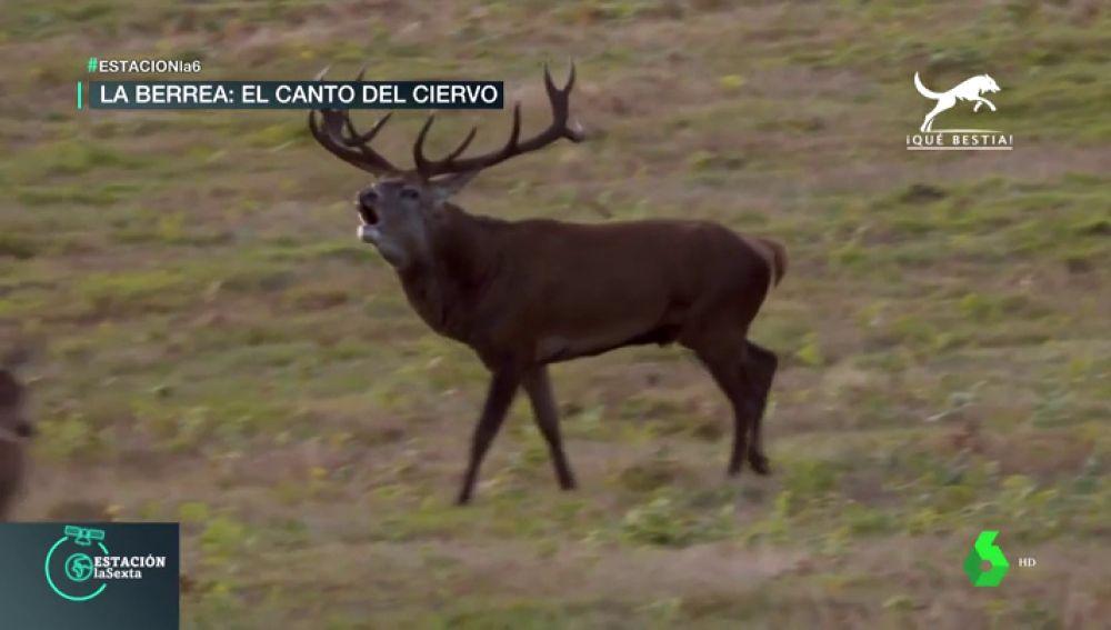 La berrea, el espectáculo salvaje del otoño: los ciervos 'cantan' y se enzarzan para cortejar a las hembras