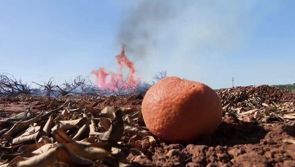 Valencia abandona la naranja: queman miles de árboles para plantar aguacate, el oro verde