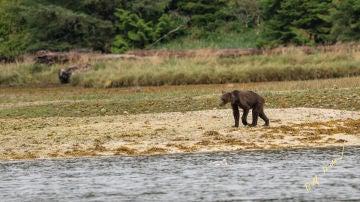 Imagen de un oso grizzly desnutrido por la falta de alimento en Canadá.