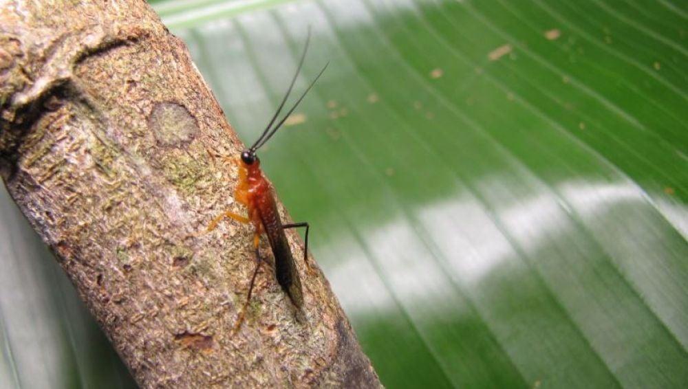 Descubierta una nueva especie de mantis religiosa imitadora de avispas