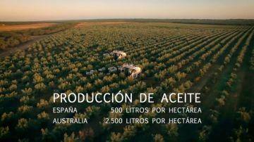 La técnica de regadío australiana con la que se podría cuadruplicar la productividad de aceite de oliva en España