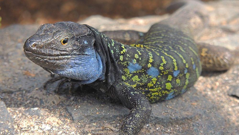 Rayos X para estudiar la evolucion del lagarto gigante de La Palma