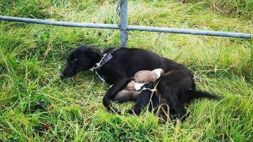 Imagen de la perra encontrada abandonada junto a sus cachorros en Irlanda